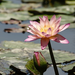 Water lily (ddsnet) Tags: plant flower water waterlily lily sony hsinchu taiwan aquatic   aquaticplants 900         sinpu hsinpu  quotwater tetragona water   lilyquot 900 lily plantsquot  nymphaeatetragona    plants flowerinjapan nymphaeatetragon quotaquatic quotnymphaea tetragonaquot aquatic nymphaea tetragona plantsnymphaea