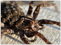 """Meet """"HAIRYette"""" & Her Hundred Babies (Tracey Tilson Photography) Tags: hairy brown macro nature animal 50mm spider nc ey"""