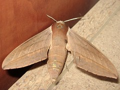 Levant hawkmoth (Theretra alecto)    (yoel_tw) Tags: moth moths sphingidae hawkmoth theretra  theretraalecto  sphingidaemundi levanthawkmoth