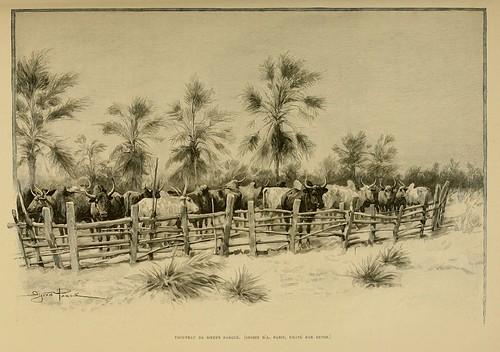 017-Rebaño de bueyes-Madagascar finales siglo XIX