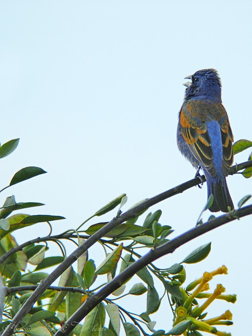 Blue Grosbeak05094