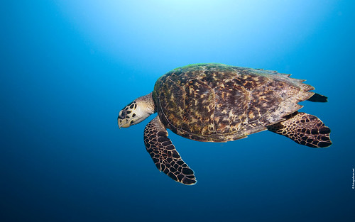 Curacao Hawksbill Turtle Widescreen Wallpaper