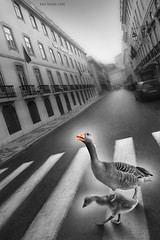 Follow me Son (Ben Heine) Tags: road street city travel family light wild urban bw baby sun bird art portugal car sepia danger contrast print landscape photography weird geese vanishingpoint blackwhite duck swan downtown po