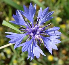 Blue cornflower with blue center