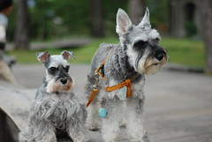 -01Mini&Nini (Marc Tzou) Tags: dog pet miniature taiwan schnauzer mini  hualien 2009 pinegarden