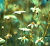 For thou not farther than my thoughts canst move, And I am still with them and they with thee (harold.lloyd) Tags: blue bw green eh yellow bokeh bikini daisy rocket undecided 50mmf14 sniffer hbw orapoppy hanstand notatulip wellmaybeido ehbd notfirst ehhd daisery itsthatsortofday dontlikethisnowitsup seethatsortofday sonnetnumbersomethingorother lxviixlviixivprobably shouldhavebeenquicker ontheprowlfordaisery
