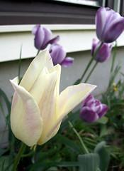 Tulips_51509