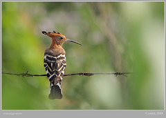 Barbwired (swaheel) Tags: india green bird nature beauty digital canon eos rebel kiss zoom bokeh bangalore kerala common barbwire efs hoopoe foreground xsi barbwired x2 kottakkal naturesfinest karanataka bengaluru 450d malappuram 55250 swaheel 55250is