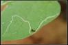 Leaf Miner tunnel - מנהרת זבוב המנהרות (Eran Finkle) Tags: nikond70s monomorium leafminer nikon2880mmf3356g liriomyza ערןפינקל eranfinkle זבובהמנהרות מנהרןהעורקים מנהרןהחממות זבובמנהרותהאפונה עשהמנהרות מורית
