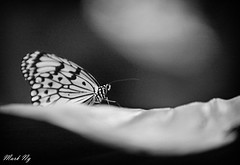 Black or White (MarkNKL) Tags: clara white kite black butterfly paper zoo idea michael singapore rice mark or jackson ng singaporezoo memoriam in blackorwhite paperkite ricepaperbutterfly singaporezoologicalgardens leuconoe markng idealeuconoeclara marknkl inmemoriammichaeljackson