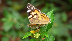 A painted lady of the afternoon