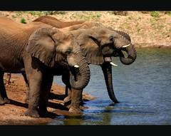 nam040 (marumb) Tags: natur earlymorning gimp afrika elefant namibia elefanten rssel daktari wasserloch erindi canonef100400is canoneos40d apparillo erindigamereserve wstenadaptiert