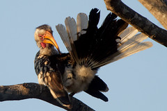 I hate that branch (Wild Dogger) Tags: africa travel sky tree bird nature birds animals canon southafrica tiere wildlife urlaub natur beak himmel adventure safari afrika vgel 2009 baum sdafrika krugernationalpark vogel schnabel olifants yellowbilledhornbill hornrabe abenteuer 600mm tockusflavirostris 2xtc specanimal flyingbanana gelbschnabeltoko canoneos7d thomasretterath canonef300lis28usm