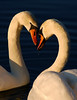 A Moment Together (blinkingidiot) Tags: park love animal togetherness swan couple pair romance swans dating elegant intimate graceful courting muteswans highfield wow1 wow2 wow3 wow4 eyeballtoeyeball beautifulmoment highfields wow5 nottinghamuniversity highfieldspark mygearandme mygearandmepremium nottinghamwildlife mygearandmebronze mygearandmeplatinum ringexcellence blinkagainfrontpage flickrstruereflection1 flickrstruereflection2 flickrstruereflection3 flickrstruereflection4 flickrstruereflection5 flickrstruereflection6 highqualityanimals rememberthatmomentlevel2