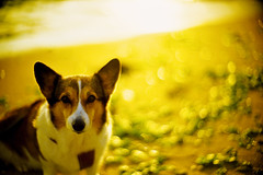 golden sunset (moaan) Tags: leica light sunset dog sunlight beach yellow 50mm gold golden evening corgi sand dof bokeh f10 shore utata mp noctilux welshcorgi 2010 kodake100g  leicamp goldenhours pochiko  leicanoctilux50mmf10 livingalifewithpochiko gettyimagesjapanq1 gettyimagesjapanq2