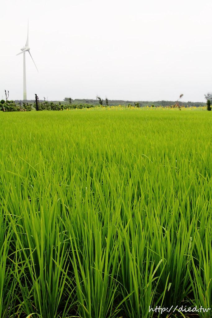 綠油油稻田