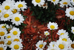 oh, daisies