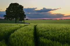 champ d'orge -          the barley field (pierre hanquin) Tags: light sunset color tree nature colors landscape geotagged nikon europa europe belgium belgique pierre getty paysage landschaft arbre lige wallonie 1685 naturepoetry hannut d7000 1685mmf3556gvr hanquin