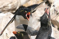A warm welcome (Heaven`s Gate (John)) Tags: white black bird expedition nature penguin feathers angry discovery eyebrows rockhopper avian colony falklandislands bornfree supershot mvdiscovery awarmwelcome westpointisland 25faves johndalkin heavensgatejohn flickrdiamond theunforgettablepictures theunforgettablepicture theperfectphotographer