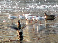 IMG_1004 (catlovers) Tags: winter cold ice water animal gulls january ducks soe catlovers mywinners excapture goldstaraward photoexplore naturescreations flickrclassique highscoreme monisertel mindigtopponalwaysontop