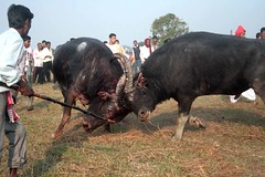 A Buffalo fight held at Ranthali, in Nagaon District of Assam, North Eastern State of India on the o