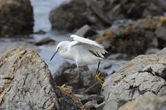 DSC_7164 (Jon Pfortmiller) Tags: snowy egret verdes palos