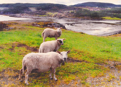 Triple Sheep (Per Ola Wiberg ~ powi) Tags: friends nature norway norge niceshot sheep 1988 july loveit