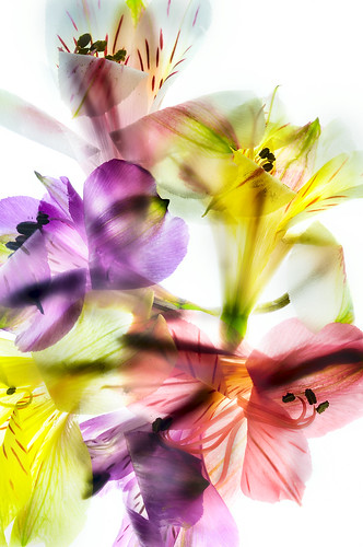 Alstromeria Medley on White