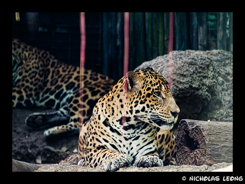 The disinterested jaguar
