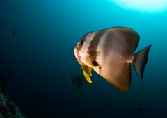 batfish1893pcw (gerb) Tags: ocean blue fish beautiful topv111 510fav cool nice topv555 topv333 underwater scuba fv5 fisheye loveit wildanimal d200 maldives batfish aquatica 105mmf28gfisheye tvx borntobewildandfree bfgreatesthits goldstaraward sunkentreasureaward
