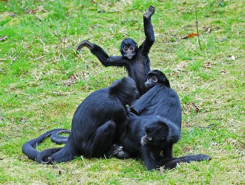 a group of columbian spider monkey habitat