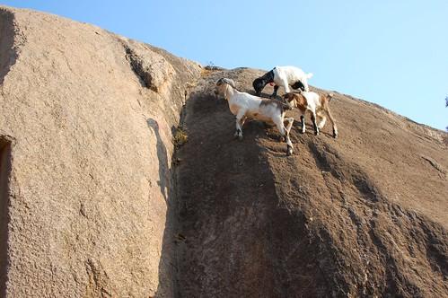 crazy goats