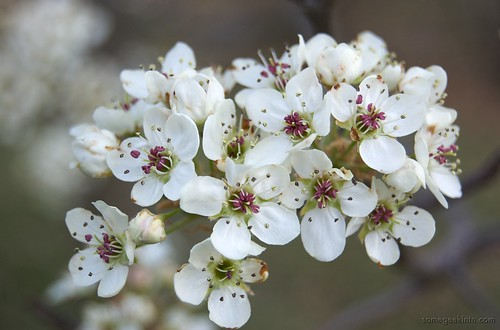 Are Bradford Pear Trees Poisonous to Humans?