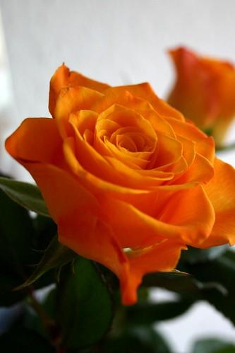 Mirror rose IV