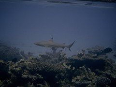 Shark! (Mrs eNil) Tags: ocean trees sea holiday fish sunshine coral happy sand paradise underwater indianocean palm snorkeling snorkelling reef fishes maldives seaplane findingnemo atoll secondanniversary blacktipreefshark carcharhinusmelanopterus reeffishes komandoo lhaviyani fisharefriendsnotfood faddhippolhu march2009 wishwewerebackthere republicofthemaldives wefoundnemo andallhisfriends maldivianfish
