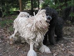 read my teeth (Foxxy & Baldr) Tags: cords nh londonderry standardpoodle baldr foxxycleopatra 2009yip 63fsunny