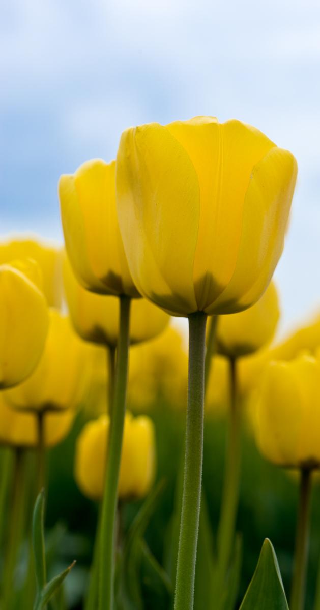 Tulips (4 of 8)