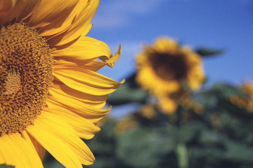 sunflower22