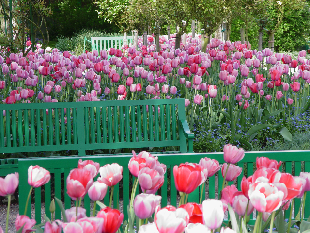 Tulip beds in Giverny