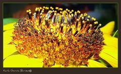Flores de Girasol (Karla Garcia Burneo) Tags: flower macro luz up close flor amarillo girasol vosplusbellesphotos