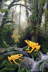 La Carbonera Golden Frogs - Art by Roger Manrique - Photo by Csar Barrio (crocroger) Tags: golden la venezuela frog merida roger manrique carbonera atelopus carbonerensis