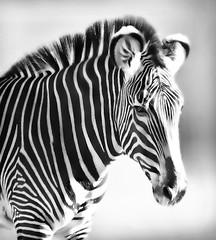 Zebra Portrait (Dean of Photography) Tags: africa wild portrait horse white black game animal bush close stripes wildlife south details hunting reserve safari zebra mohawk savannah thumbsup psychedelic pyjamas mane palmdesert welgevonden livingdesert twothumbsup grazer herowinner ultraherowinner thepinnaclehof tphofweek11