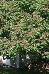 Red Flowering Chsetnut