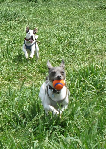 Lucy chasing Casey for the ball