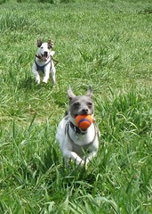 Lucy chasing Casey for the ball (Watson House) Tags: dog june casey lucy jackrussell dogpark fetch ratterrier