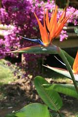 Bird of Paradise flower (Shropshire Bogtrotter) Tags: birdofparadise labambouseraie