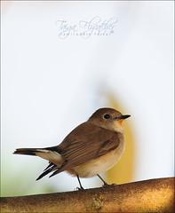 Taiga Flycatcher (Ficedula parva), Adult male (Z.Faisal) Tags: bird beak feathers aves dhaka bangladesh avian bipedal bangla faisal flycatcher chutki d300 zamir savar parva redthroated ficedula pakhi taigaflycatcher endothermic ficedulaparva nikkor300mmf4 jahangirnagar jahangirnagaruniversity redthroatedflycatcher zamiruddin zamiruddinfaisal zfaisal lalgola chotok lalgolachutki lalbukchotoktaiga lalbuk deshnature