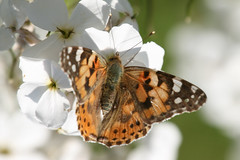 Painted Lady (warrior1) Tags: butterfly norfolk paintedlady cynthiacardui