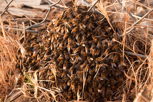 Bee Swarm - Click for more images on my Flickr account!