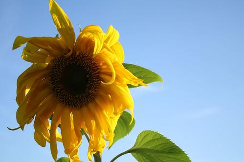 Airfield Sunflower